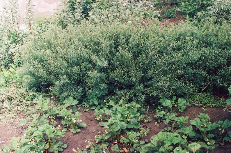 Зеленая стенка из карликовой ивы (не стриженая)
