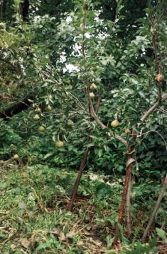 Груша карликовая