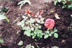 Парковые розы - различные виды (не требуют особого ухода)
