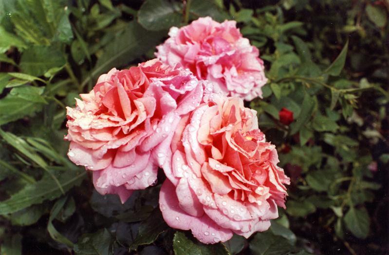 Розы парковые
