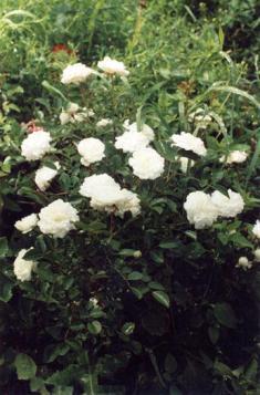 Розы парковые - различные виды