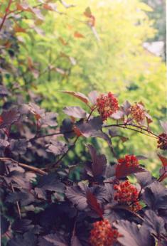 Пузыреплодник с бордовым листом