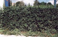 Зеленая изгородь из кизильника блестящего