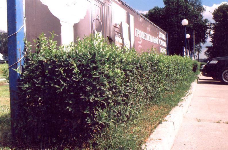 Зеленая изгородь из бирючины