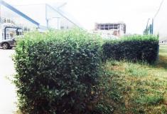 Зеленая стенка из Бирючины (год создания - 2002)