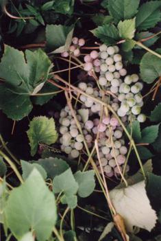Виноград домашний русский