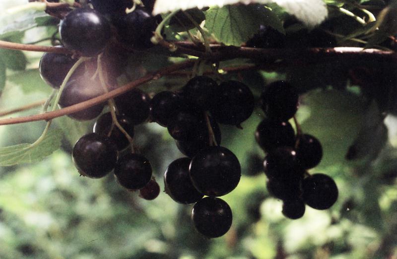 Смородина черная (Подмосковная) - ягоды величиной с вишню