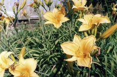 Лилейники - различные сорта