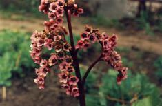 Бадан цветущий