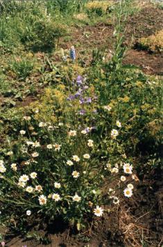 Ромашки: от маленьких до крупных пестролистных